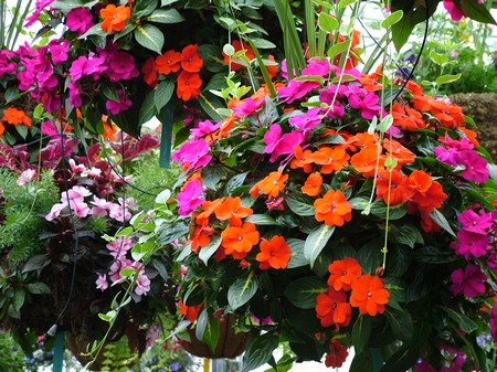 Plants Hanging Baskets