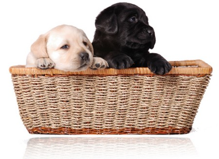 How to find the Right Puppy  Right Puppy