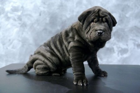 Chinese Shar Pei Dog