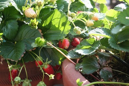 Fruits  Container Gardens