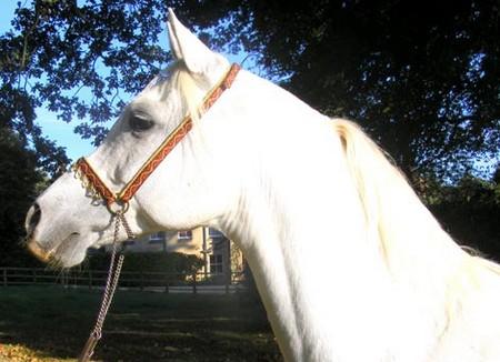 Bridle Horses Head