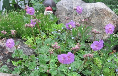 How to Use Cranesbill Cranesbill 5