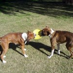 How to Deal With Your Dogs When They Undergo In-Home Fighting
