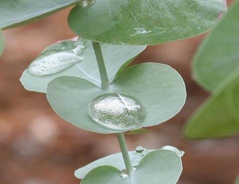 How to Use Eucalyptus Eucalyptus 5