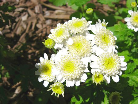 How to Use Feverfew Feverfew 5