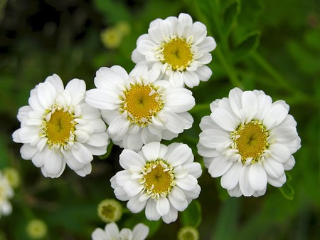 How to Use Feverfew Feverfew