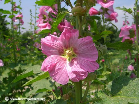 How to Use Marshmallow and Hollyhock Hollyhock1