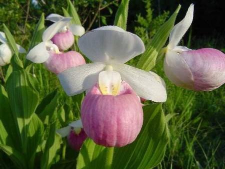 Venus S Little Shoe Flower