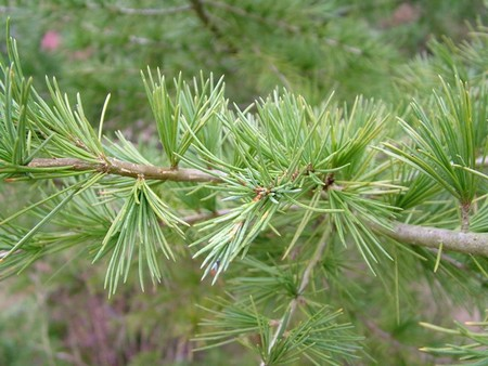 How to Use Larch Larch
