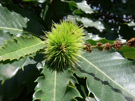How to Use Sweet Chestnut Sweet Chestnut1