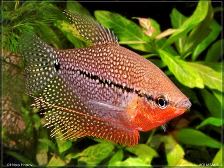 how to breed fighting fish successfully