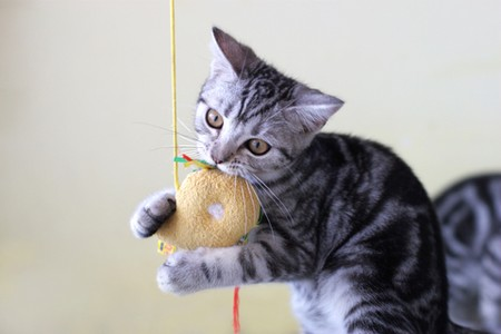 How to Train Your Cat to Retrieve the Toy That Is Thrown by You  Cat to Retrieve1