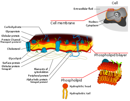How to Make A Cell Membrane Model Cell Membrane