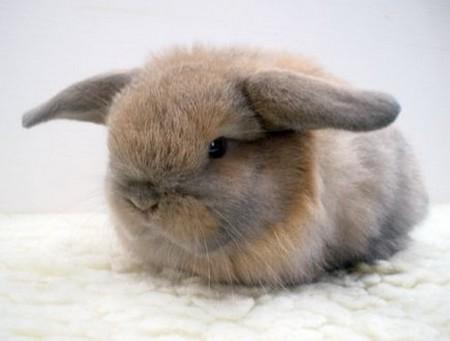 How to Care Your Dwarf Rabbit  Dwarf Rabbit3
