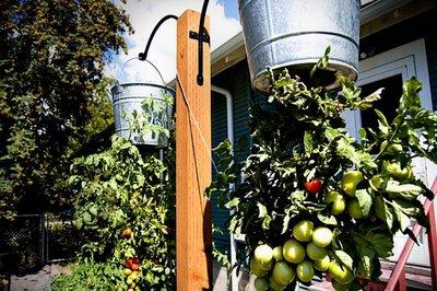How to Make Upside Down Hanging Tomato Plants Hanging Tomatos