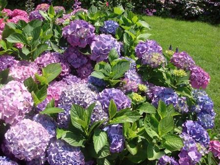 How to Grow Hydrangeas in a Pot Hydrangeas