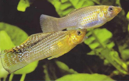 How to Breed Different Kinds of Livebearers  Livebearers 5
