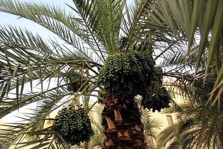 How to Take Fruit from a Date Palm Tree Date Palm Tree