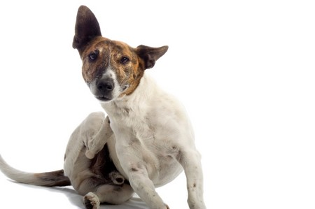 How to Treat and Avoid Dandruff on Dogs Dandruff on Dogs