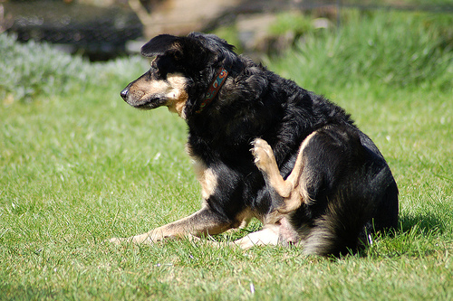 How to Use ACV to stop your Dog Scratching Dog Scratching