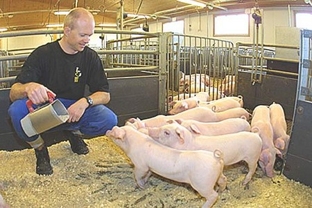 How to Feed Pigs Feed Pigs