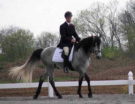 How to Train a Gaited Horse Gaited Horse