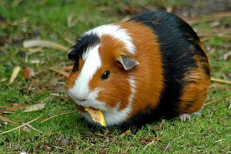 How to Hunt for a Veterinarian for your Guinea Pigs Guinea pigs