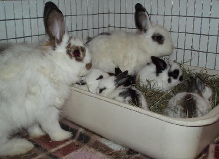 How to Train a Rabbit to Litter in Litter Box Rabbit Litter Box