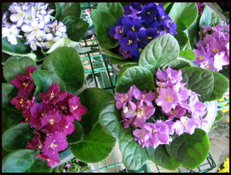 How to Water African Violets African Violets