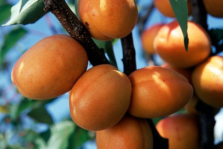 How to Grow Apricots  Grow Apricots