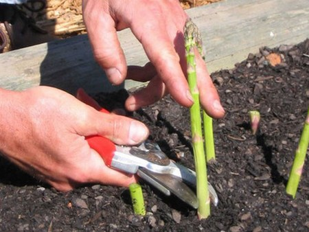 How to Grow Asparagus  Grow Asparagus
