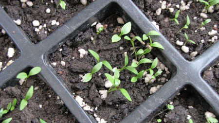 How to Grow Herbs from Seed  Grow Herbs 5