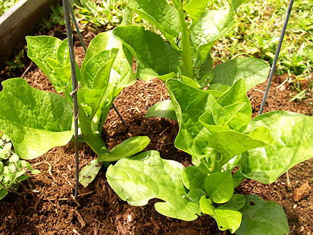 How to Grow Spinach  Grow Spinach 5