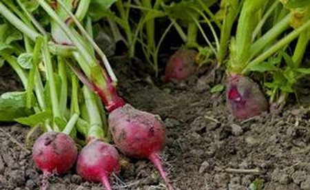 How to Grow Summer Radishes  Grow Summer Radishes