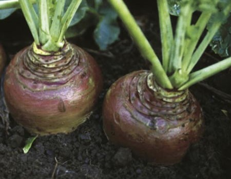 How to Grow Swedes  Grow Swedes