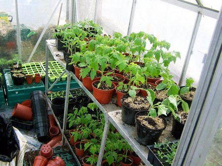 How to Grow Tomatoes in Your Greenhouse  Grow Tomatoes 52