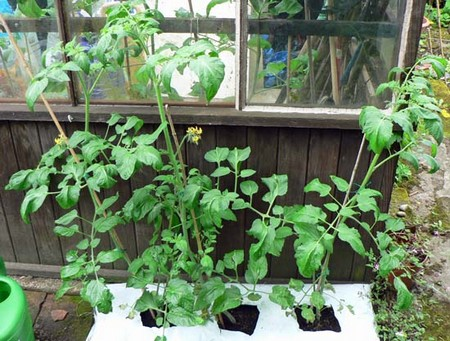 How to Grow Tomatoes in Your Greenhouse  Grow Tomatoes1