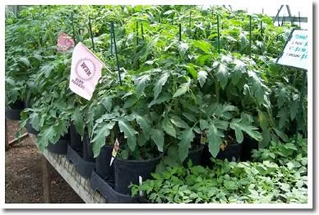 How to Grow Vegetables in the Greenhouse Grow Vegetables