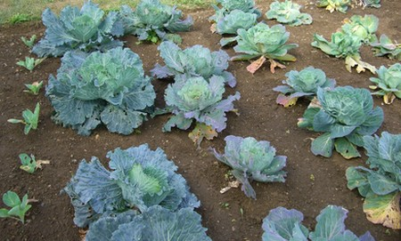 How to Grow Winter Cabbage  Grow Winter Cabbage