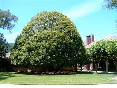 How To Trim A Magnolia Tree