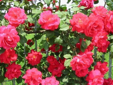 How to Trim a Rose Bushes Rose Bushes