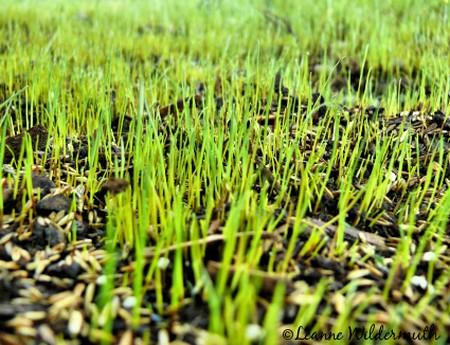 How to Grow Grass Grow Grass 5