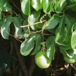 How to Prevent Small Sized Fruits in Your Tropical Fruit Trees