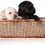 How to find the Right Puppy