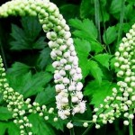 How to Use Black Cohosh
