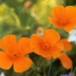 How to Use California Poppy