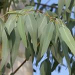 How to Use Eucalyptus