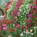 How to Plant Roses in Your Garden