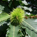 How to Use Sweet Chestnut