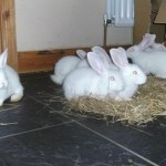 How to Breed Rabbits